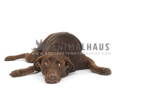 Chocolate lab flat on ground with white background