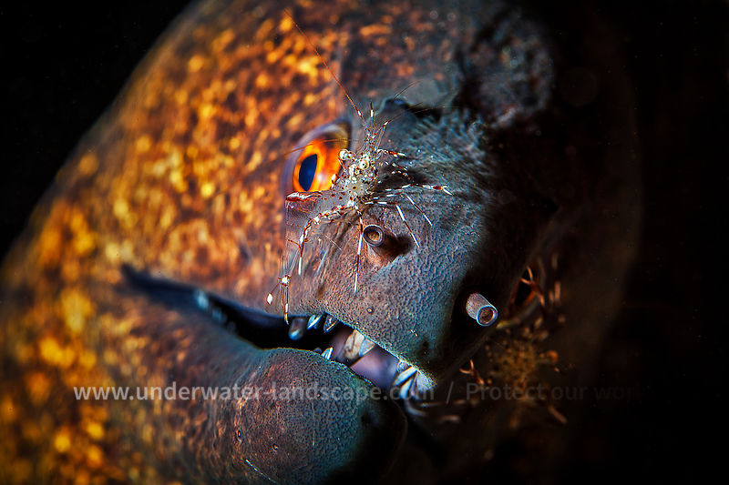 Yellow-edged moray