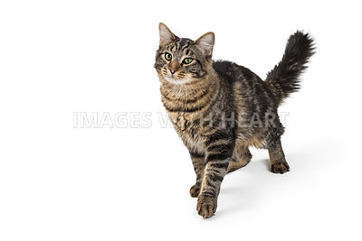 Pretty Tabby Cat Walking With Copy Space