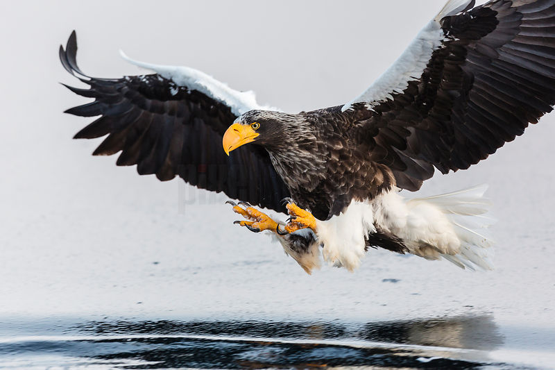Steller's Eagle Coming in to Grab a Fish
