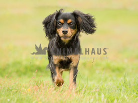 Cute Black and Tan Cavalier King Charles Spaniel Puppy posing in grass