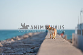 ginger feral cat standing on breakwater