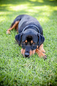 Rottweiler cross lying down in grass