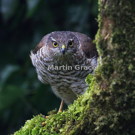 Sparrowhawk Stare - shortlisted in Birds in the Garden category of Bird Photographer of the Year 2017
