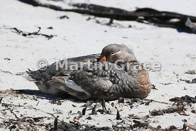 Male Falkland Steamer Duck (Tachyeres brachypterus) resting on the beach, The Plain, Carcass Island, Falkland Islands