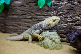 Bearded dragon reptile in enclosure on rock