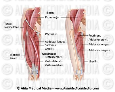 Thigh muscles anterior
