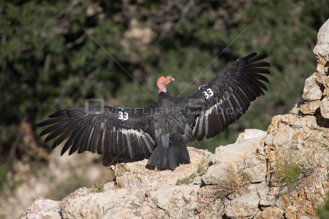 California condor (Gymnogyps californianus) sunning on rock, Grand Canyon - Vermillion cliffs area, Arizona, USA, Endangered