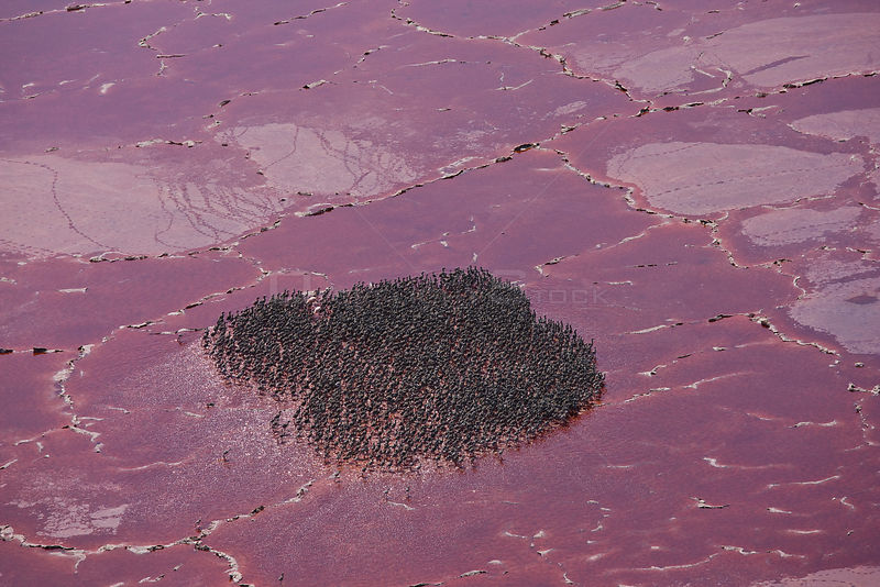 Aerial view of nursery of Lesser Flamingos (Phoeniconaias minor) on Lake Natron, Rift Valley, Tanzania, Africa, August 2009