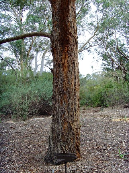 Eucalyptus eugenioides, Thion leaved Stringybark #2