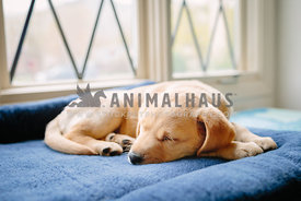 yellow labrador retriever puppy sleeping on dog bed near window