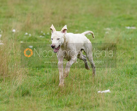 A Quorn hound - Quorn Hunt Opening Meet 2016