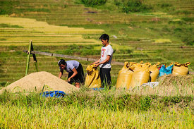 Putting Harvested Rice into Sacks