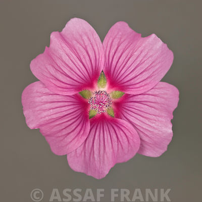 Close-up of pink Lavatera Flower
