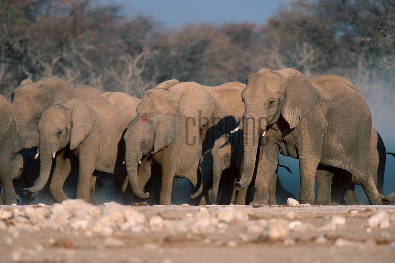 Elephant Herd Running to Waterhole