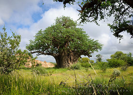 A single baobab tree in a grassy plain