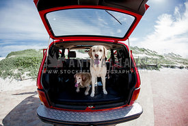 two labradors facing camera in red jeep opened boot.