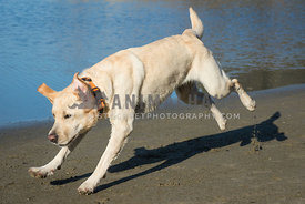 happy yellow Labrador retriever dog bounces across the frame with ears flapping and sand flying