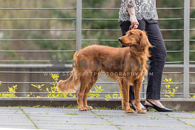 irish setter dog with waiting for woman