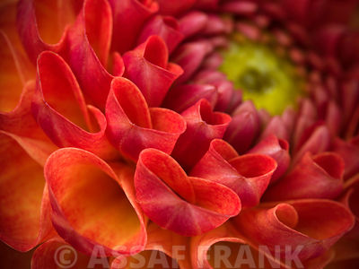 Extreme close-up of  pompom Dahlia