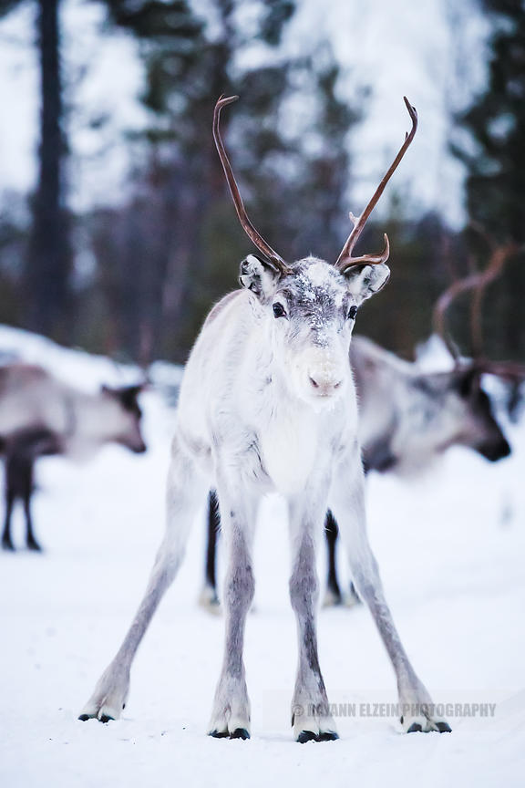 Reindeer with back legs spread in Lapland