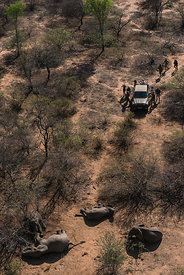 Aerial view of capture team with tranquillised Elephants (Loxodonta africana). The Elephants had been darted from a helicopte...