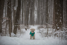 Poodle in snowy forest