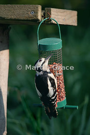 Male Great Spotted Woodpecker (Dendrocopos major) on a garden peanut feeder, looking upwards for a possible aerial threat, Cu...