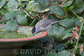 Eurasian Blackcap Sylvia atricapilla drinking at garden bird bath Norfolk