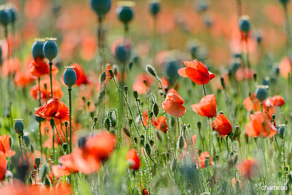 Coquelicots © photo Stéphane Charbeau