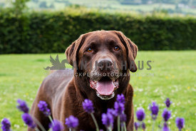 chocolate labrador dog stood with flowers in the foreground