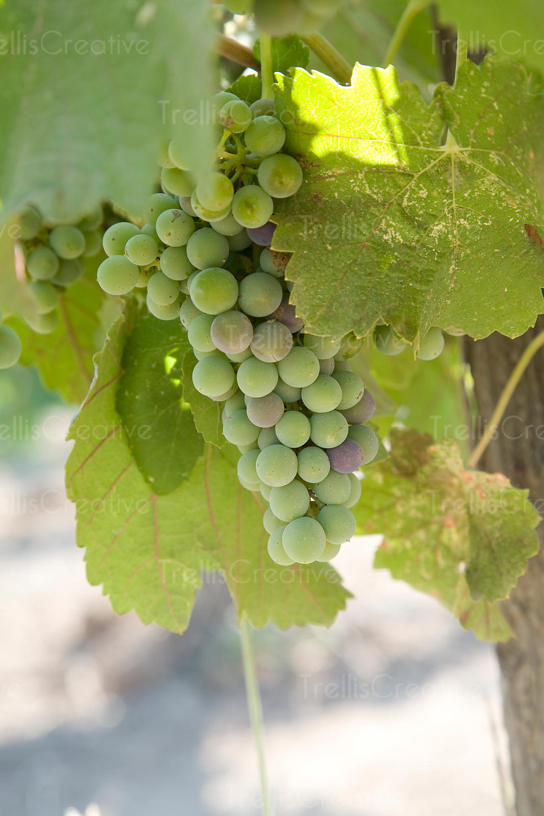 White grape clusters during veraison