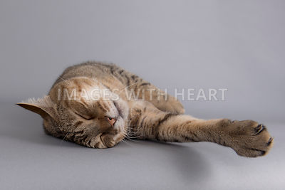 Sleeping tabby cat outstretched on grey background