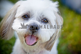 Close up face of Maltese