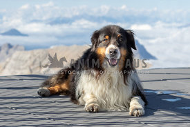 A happy australian shepherd on a scenic lookout