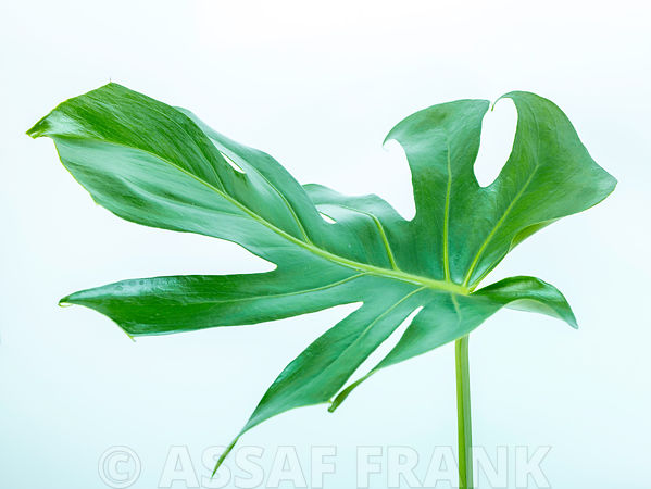 Monstera Ceriman