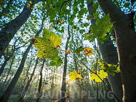 Deciduous woodland, part of an ancient wood on a misty dawn in autumn, near Fakenham, Norfolk October