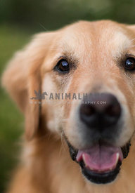close up of golden retriever's face and eyes