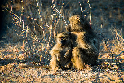 Pair of baboons sitting on the ground, young and adult female