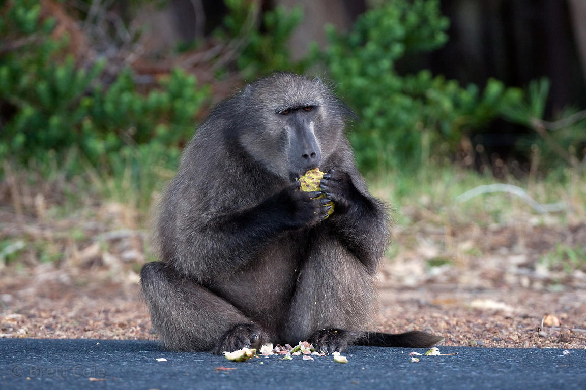 A chacma baboon from the Plateau Road troop eats a pine cone (sp.), Cape Peninsula, South Africa. Cones from the invasive pin...