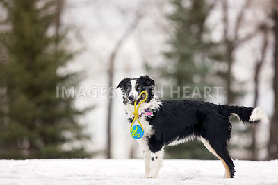 Australian shepherd with toy in winter