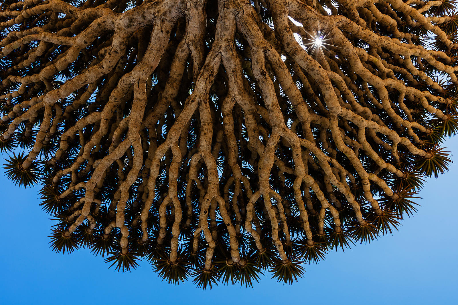 Underside of a Dragon's Blood Tree