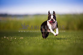 dog running through field close up