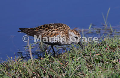 Dunlin (Calidris alpina) feeding by fresh-water pool, Hermaness National Nature Reserve, Unst, Shetland