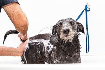 Unhappy Dog Getting Bathed By Groomer