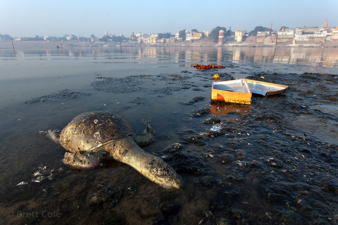 Dead turtle on a polluted stretch of the Ganges River, Varanasi, India.