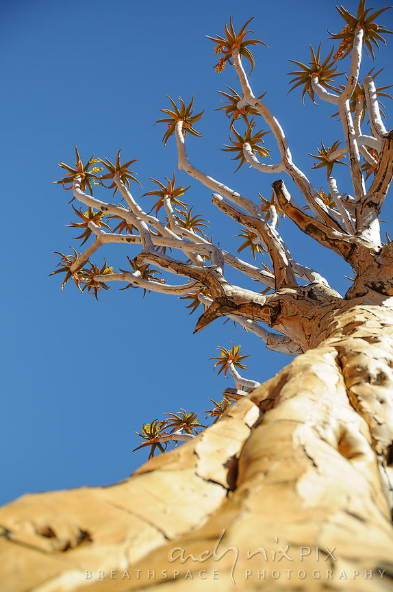 Close-up, low-angle view looking up the trunk of a quiver tree (Aloe dichotoma, kokerboom) to it's flowering branches