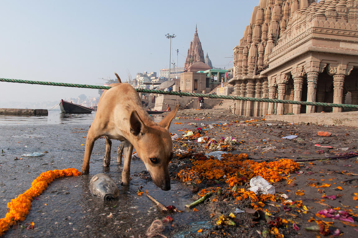 A stray dog walks past marigold garlands on the banks of the Ganges River near the sinking temple and Scindia Ghat, Varanasi,...