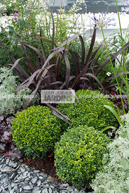Association : Buxus sempervirens (buis boule), Phormium tenax 'Black Adder', Designer : Krista Grindley. Hampton court. Angle...