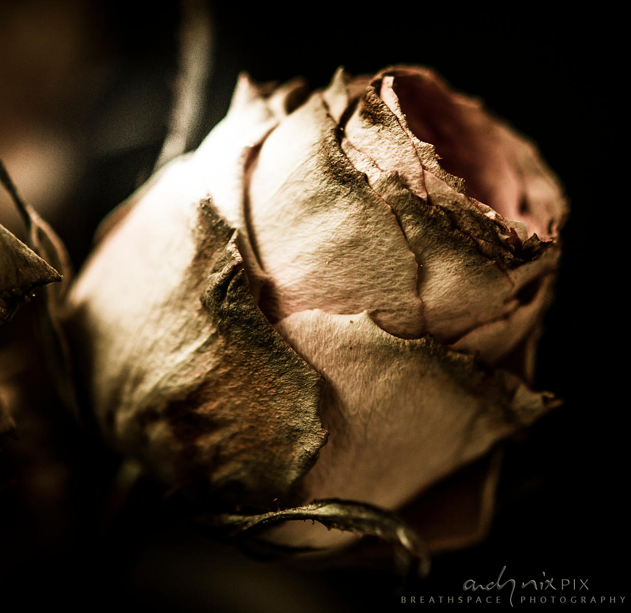 Old Rose II